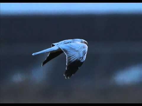 An evening flight of a Hen Harrier.wmv