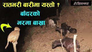 बाँदरले बाख्रा चराउँने गाउँ, Saptarangi Ojhelka Khabar | Resham Bohora