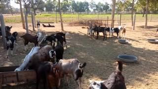 Vasudha goat Farm(sikar,Rajasthan)