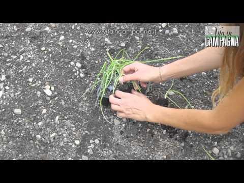 Semina aglio doovi for Seminare aglio