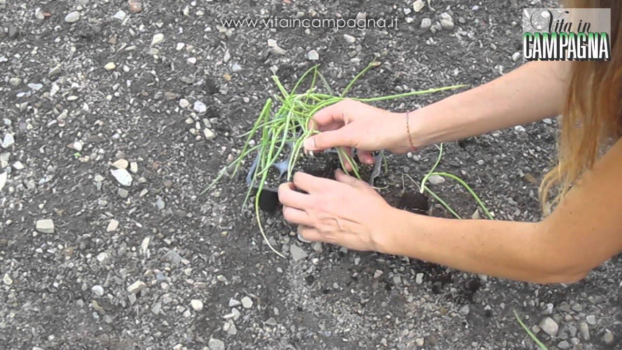 Piantare aglio e cipolla bianca e seminare spinacio youtube for Piantare aglio