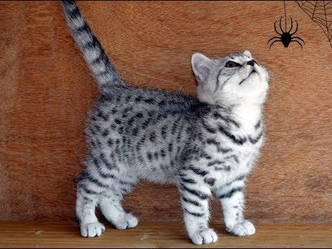 British Shorthair silver tabby kittens join the Secret Service