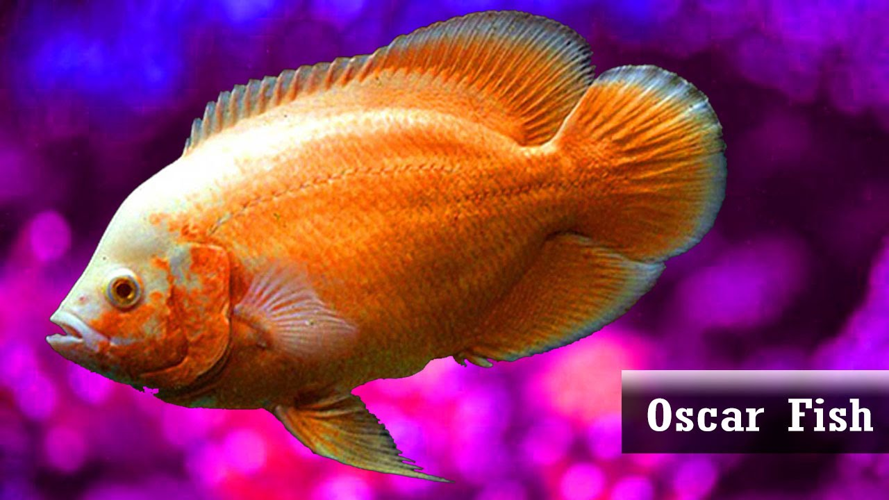 Best Oscar Fish Varieties For Home Aquariums Youtube