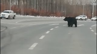 Bear Seen Crossing Road in Northeast China