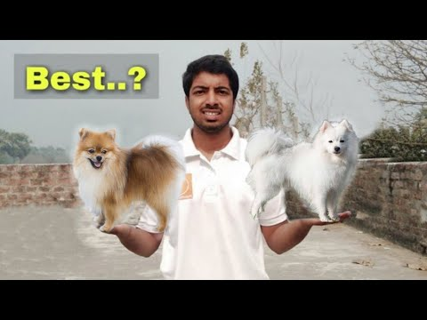 Indian spitz v/s pomeranian dog  which is best by pomtoy anurag