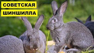 Разведение кроликов породы советская шиншилла как бизнес идея | Кролик советская шиншилла