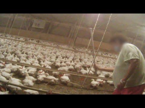 Hidden-Camera Exposes Disgusting Secret Behind McDonald's Chicken McNuggets