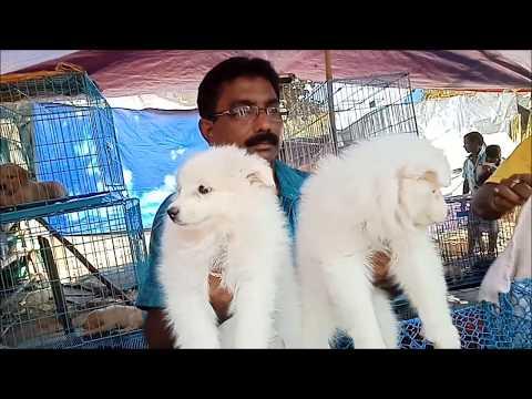 So Cute Samoyed Puppy At Galiff Street l Beautiful Lady Vs Cute Samoyed Puppy