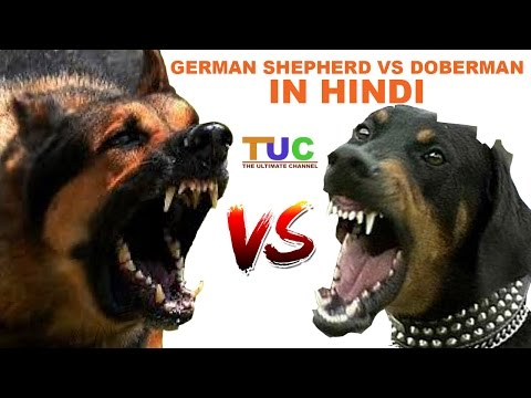 German Shepherd Vs Doberman In Hindi | Dog Comparison | The Ultimate Channel
