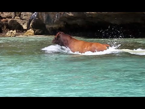 """35. COW OVERBOARD! """"So, you guys eat the beef?"""" Sailing in Lau Group of Islands, Fiji"""