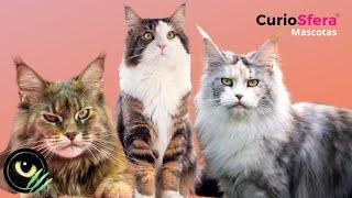 Maine Coon  Carácter, Salud y Cuidados
