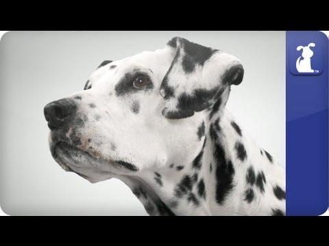 Doglopedia - Dalmatian