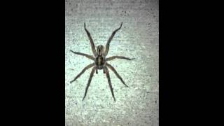BIGGEST WOLF SPIDER EVER!!! CAUGHT ON FILM