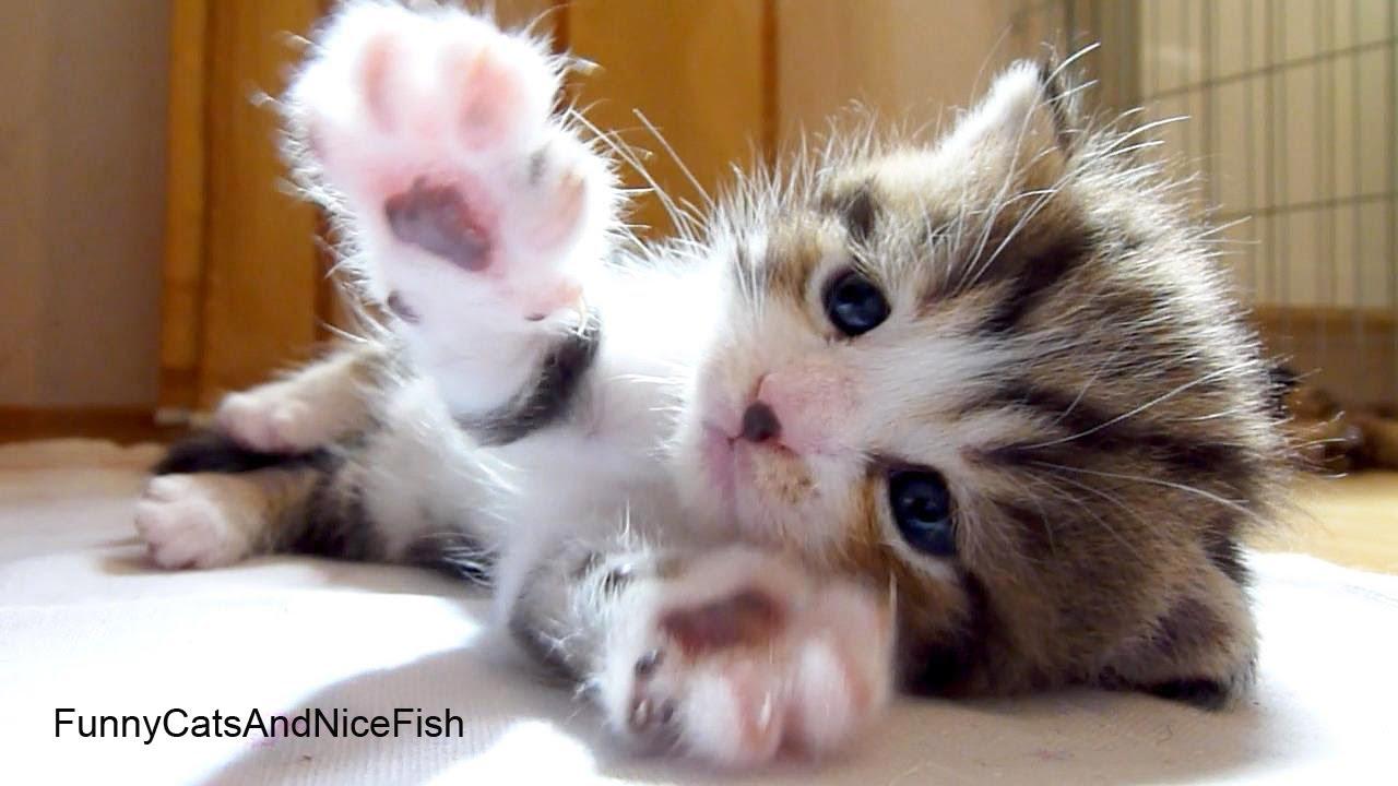Applause I m Octavia Too Cute Kitten
