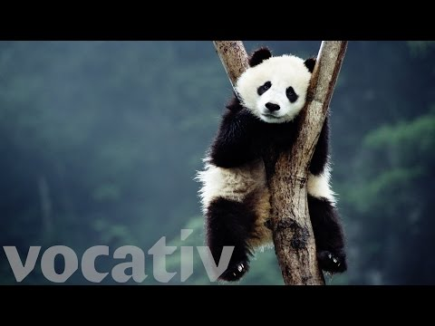 Pandas Have Been Confusing Biologists For Decades