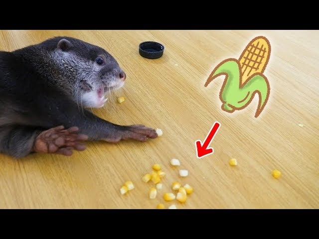 ?????????????????????????????(Otter Bingo's new snack - corn Part.1)