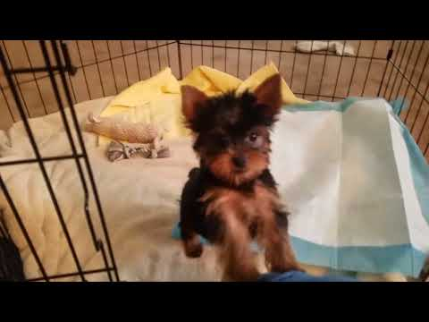 Meet Milo, My New Yorkie Puppy!