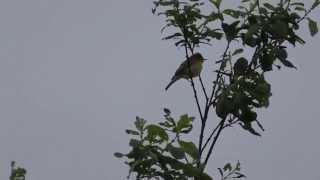 Heldere zang van een orpheusspotvogel in de Brenne (Fr.)