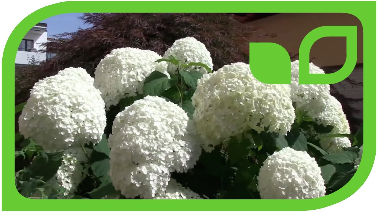 schneeballhortensie annabelle hydrangea arborescens youtube. Black Bedroom Furniture Sets. Home Design Ideas