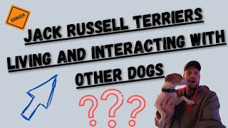 Jack Russell Terrier's With Other Dogs (Good Idea Or Bad Idea)