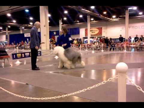 Dog Show Video Old english sheepdog herding breed