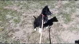 Приучение собаки не бояться громких звуков (грохота выстрелов и т.д.)