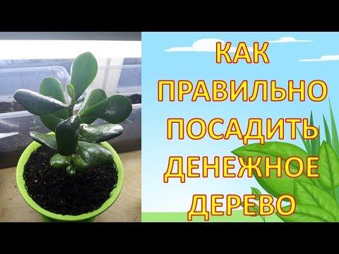 Вопрос: Можно ли держать растение Толстянка (денежное дерево) в детской комнате?