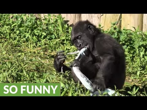 Gorilla baby isn't happy with choice of clothing