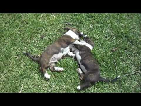 cute-puppies-fos-and-ebo-play-fighting-again-(cardigan-welsh-corgi's;-9-weeks-old)