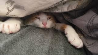 #cat #lazy #funny #ellentube #youtube #animals #ellen Our lazy cute fat cat sinks into sleep...
