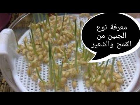 معرفة نوع الجنين من القمح والشعير طريقه قدماء المصريين Youtube