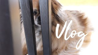 A day in April   Ella The Tibetan Spaniel   Vlog,  April 9 (English subtitles)