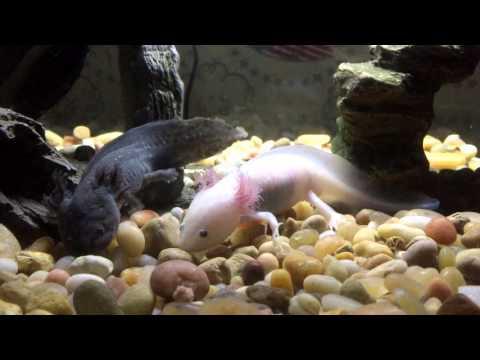 Leucistic and Melanoid Axolotls