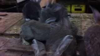Кролики Немецкий Ризен (окрас агути)