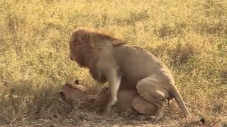 Fucking Lion - Lion's having Sex