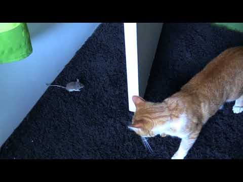 youtube cat and mouse
