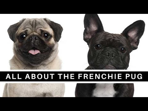 All About The French Bulldog Pug Mix (Frenchie Pug)