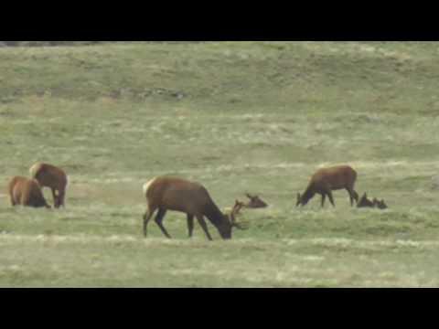 Overlooking Elk herd on highest U.S. Highway in Rocky Mountain National Park