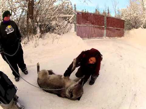 Petting a GRAY WOLF at The Alaska Zoo!