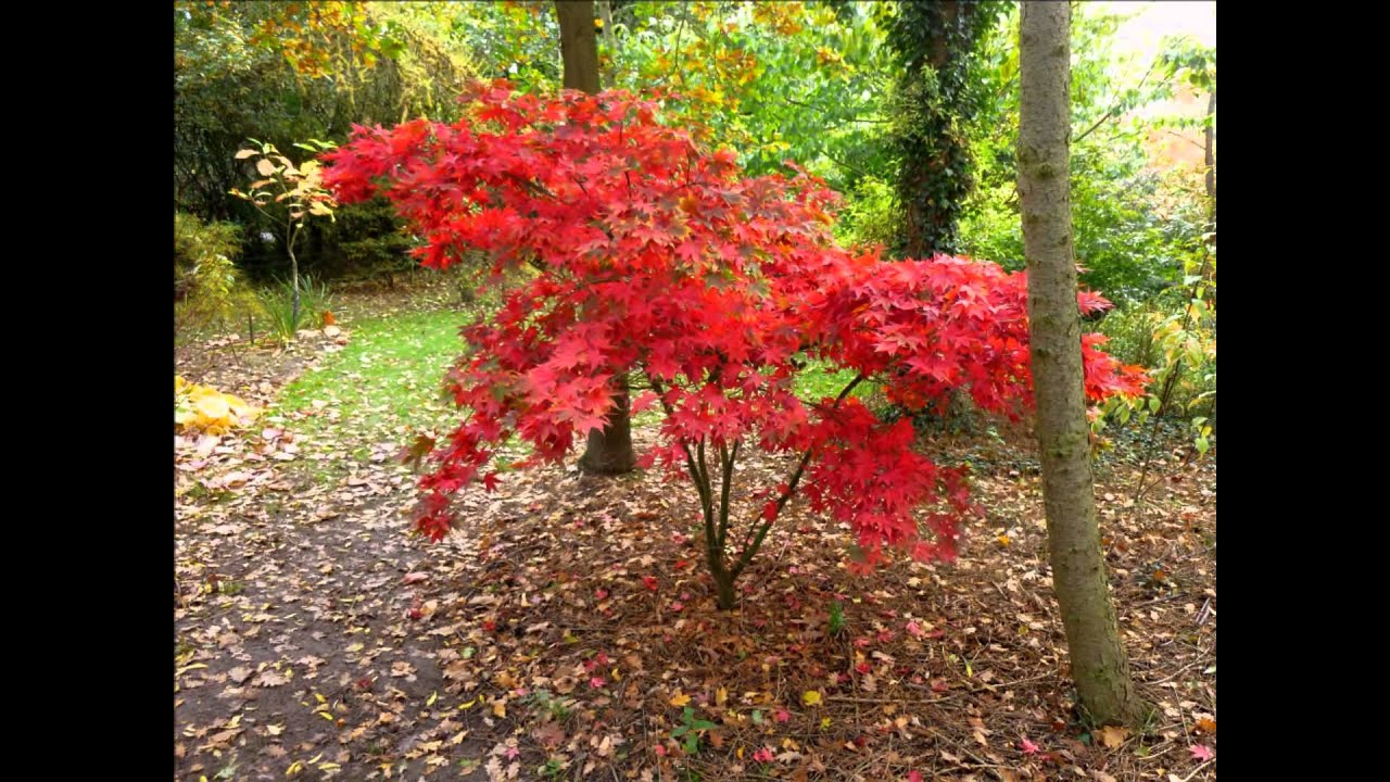 Image gallery japanese maple acer trees for Maple trees for sale