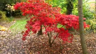 Acer palmatum 'Osakazuki' video