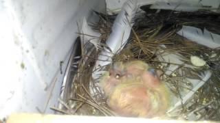 Bursa oynar güvercini (BURSA ROLLER) 1 günlük yavrular