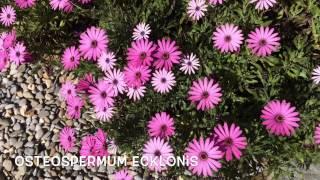 Osteospermum ecklonis. Garden Center online Costa Brava - Girona.(Osteospermum ecklonis. Garden Center online Costa Brava - Girona. Web: http://personalgardenshopper.es/, 2015-03-31T21:36:16.000Z)