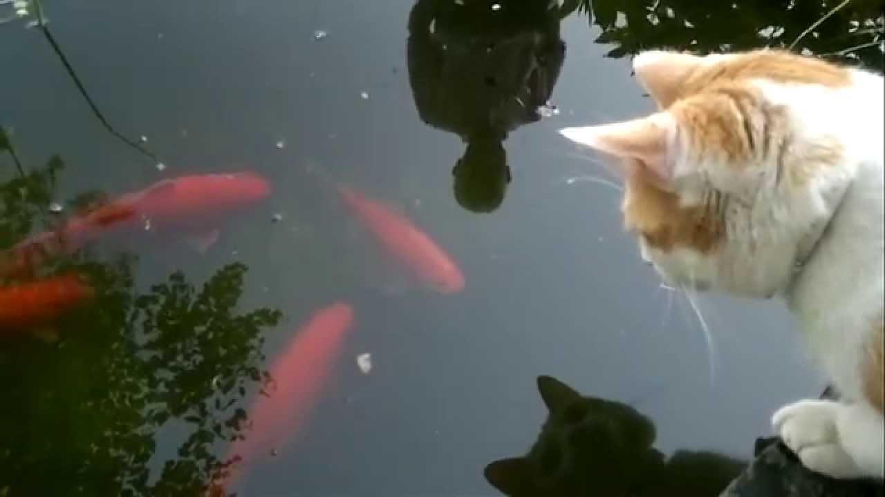 Katze und goldfische doovi for Koi und goldfische