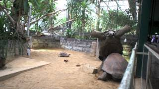 Turtle fight - Reuzenschildpad Artis Amsterdam valt ondersteboven