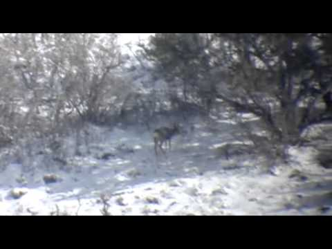 Rough Digiscope Video of Two 2 Point Mule Deer Dallen Passes On.