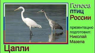 Цапли. Голоса птиц России
