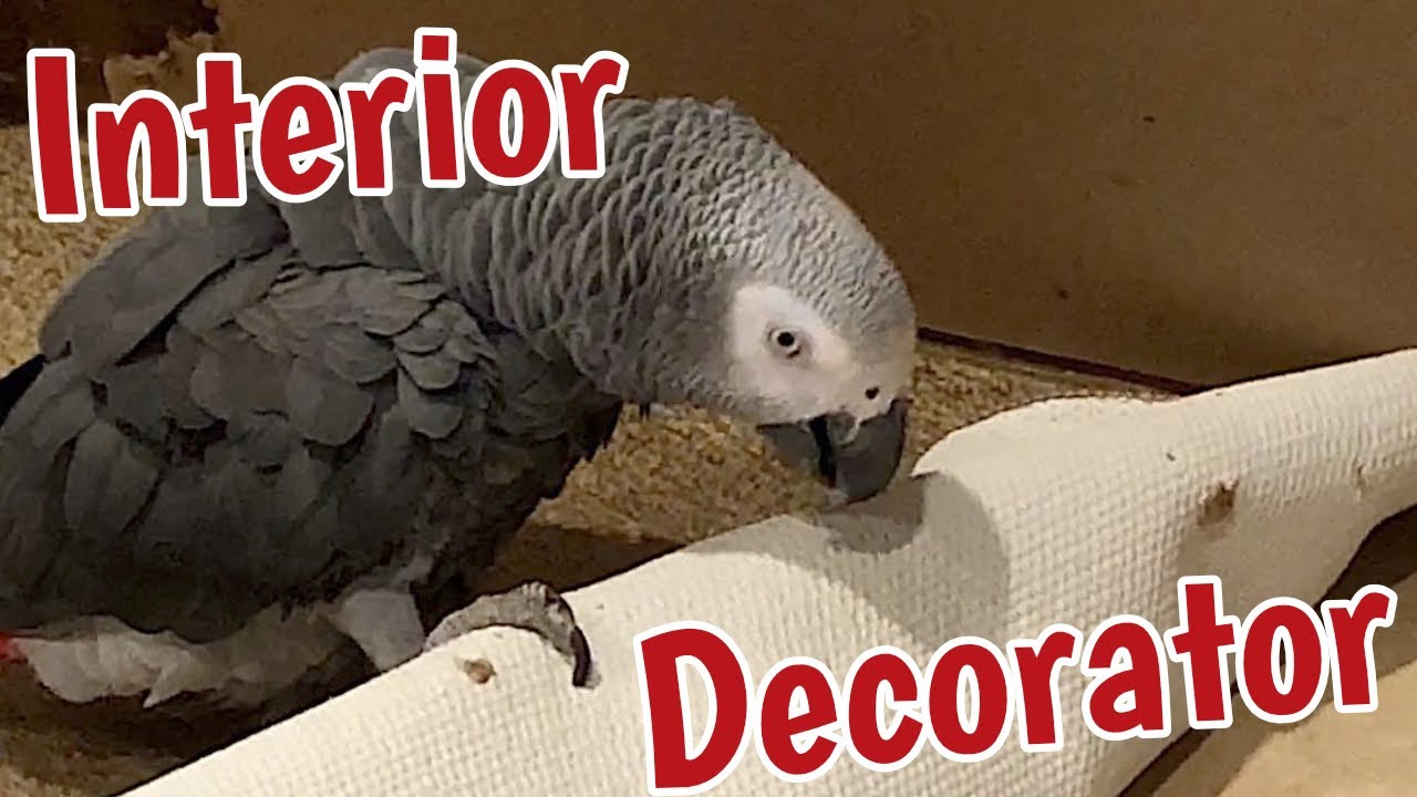 Einstein parrot is an interior decorator