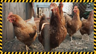 Chicken Hen Sound Effect Free Download   MP3 WAV   Pure Sound Effect