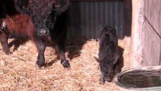 Une vache Galloway et son petit de quelques heures.